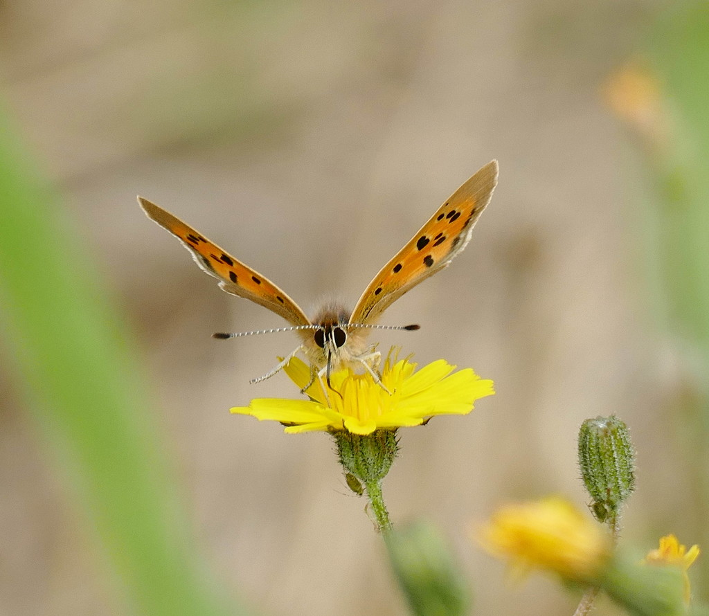 Small Copper and friends by jesika2