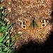 Meadow Argus Butterfly ~