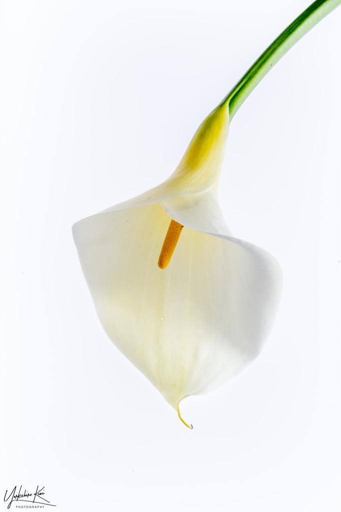 White Lily by yorkshirekiwi