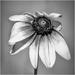 flower in b&w by jernst1779