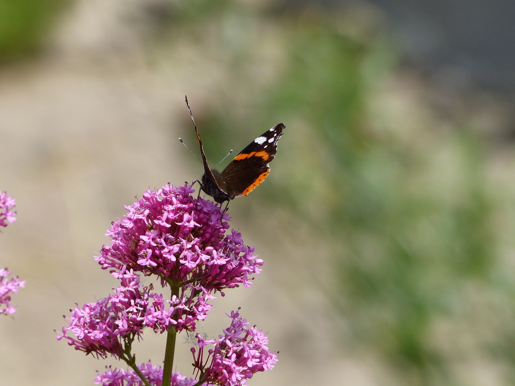 Red Admiral on Valerian by susiemc