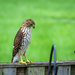 Red Shoulder Hawk on Neighbors Fence  by marylandgirl58