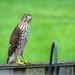 20180922 Red Hawk on Neighbors Fence-1