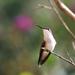 Hummingbird #3