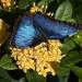 LHG_1981 Blue Morph by rontu