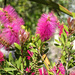 Bottlebrush in pink?