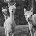 Alpacas by kgolab