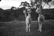 23rd Sep 2018 - Alpacas