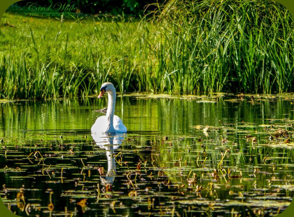 Swan And Reflections by carolmw