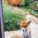 Bedraggled foxy