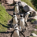 Stony Point penquins by mv_wolfie