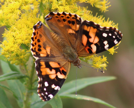 Painted Lady by cjwhite