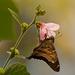 Long Tail Skipper Butterfly!