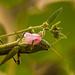 Grasshopper Having Lunch!