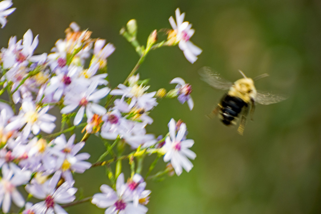 September Words - Flight (of the Bumble Bee) by farmreporter