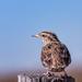 meadow lark by aecasey