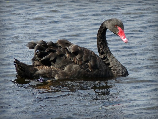 Black Swan by judithdeacon
