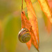 Snail on the sumac leaf! by fayefaye