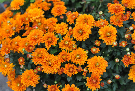 Fall Mums by loweygrace