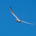 Young Caspian tern in flight