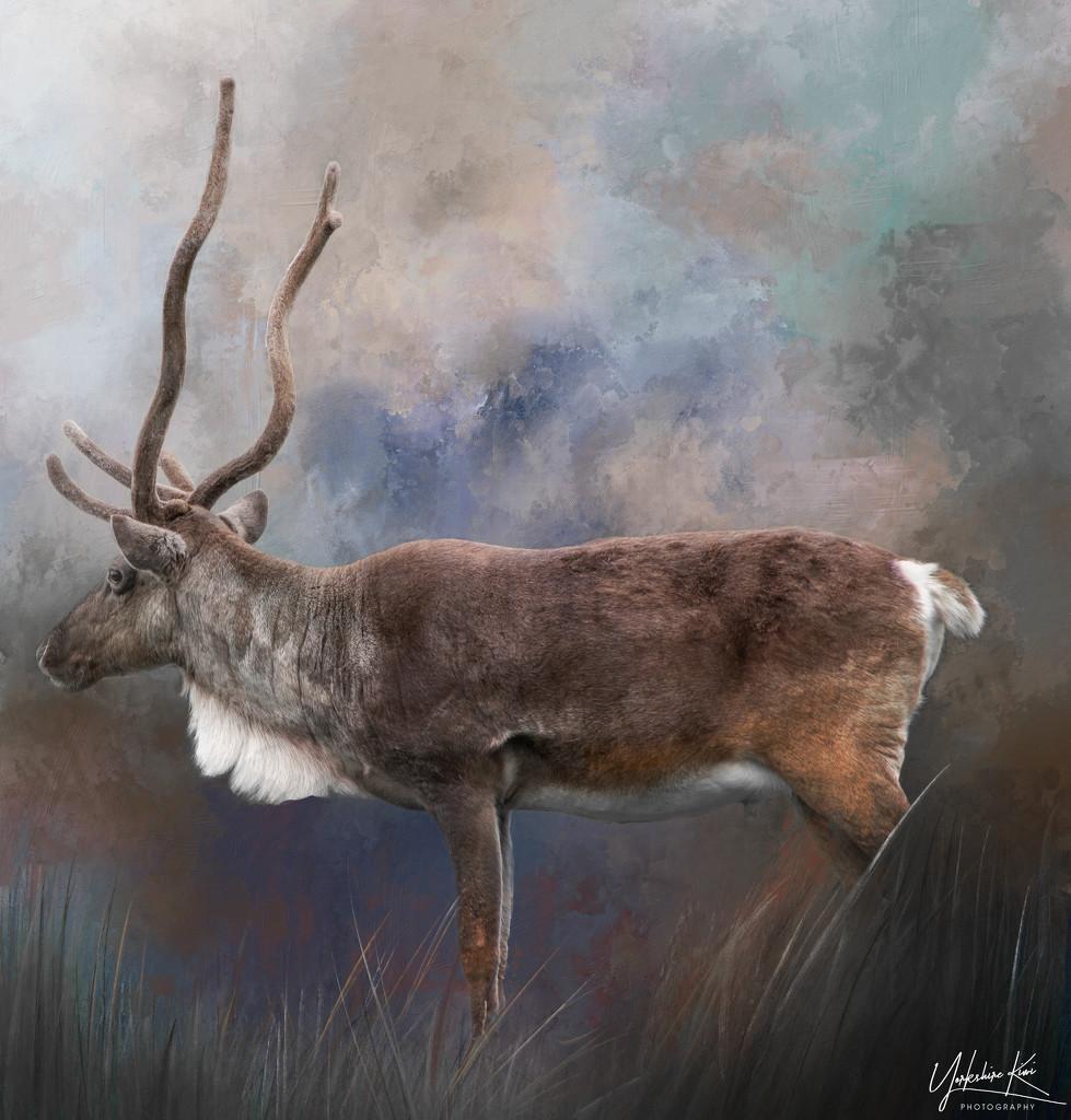 Reindeer by yorkshirekiwi