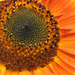 Sunflower Close Up by seattlite