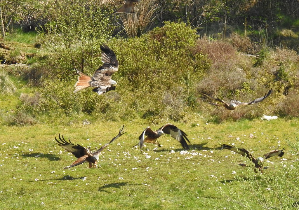 Red Kite Feeding Frenzy by susiemc