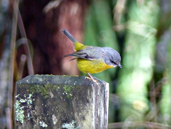 Eastern Yellow Robin by judithdeacon