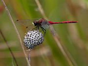 25th Sep 2018 - White-faced Meadowhawk dragonfly