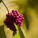 Sunlit Berries!