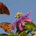 Gulf Fritillary Butterflys Playing on the Flower!