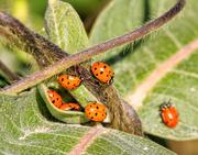 24th Sep 2018 - ladybugs