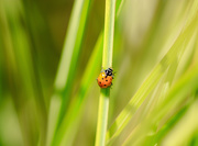 25th Sep 2018 - ladybug