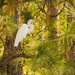 Egret That Was Chased up into the Pines! by rickster549