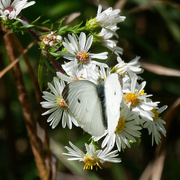 26th Sep 2018 - white cabbage butterfly