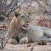 Lion by kjarn