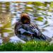 Wigeon by carolmw