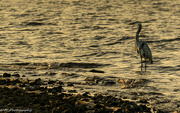 28th Sep 2018 -  Blue heron in the morning