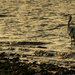 Blue heron in the morning by samae