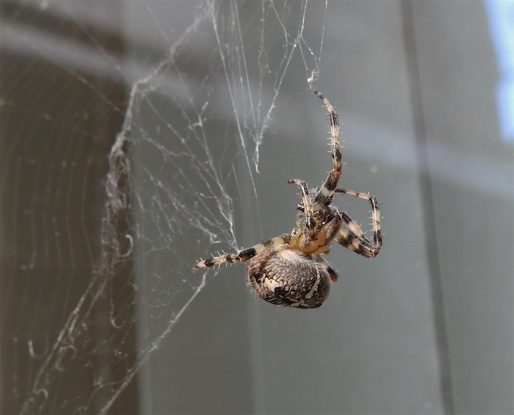 Spider by oldjosh