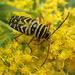 Locust Borer by cjwhite