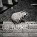 Groundhog who came to tea