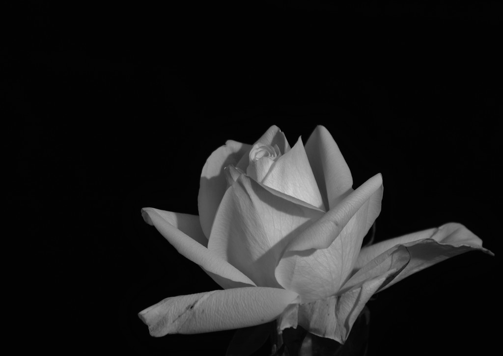 White On Black_DSC8095 by merrelyn