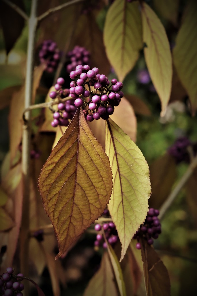 """New colors (""""Beautyberry"""", in Dutch it's """"Schoonbes"""") by madeinnl"""