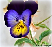 29th Sep 2018 - Pansy face