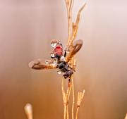 28th Sep 2018 - dewdrop fly