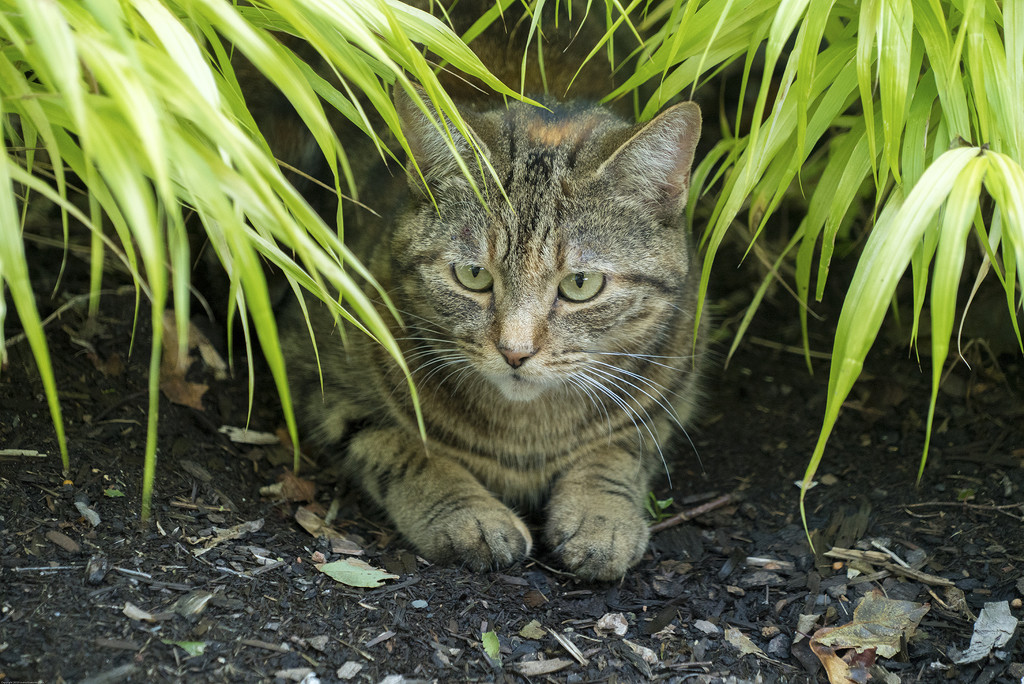 Jungle Cat ... by Weezilou