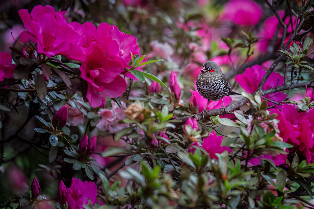 A little finch hidden in the azalea. by jodies