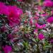 A little finch hidden in the azalea. by jodies