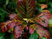 30th Sep 2018 - autumn leaves
